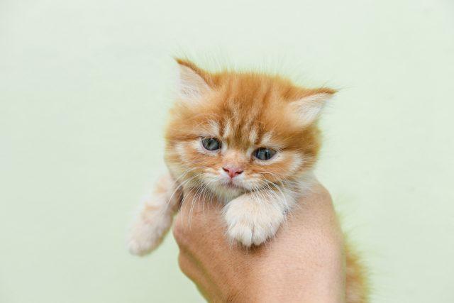 マンチカンの値段が知りたい!子猫の価格や相場、値段の違いはある?